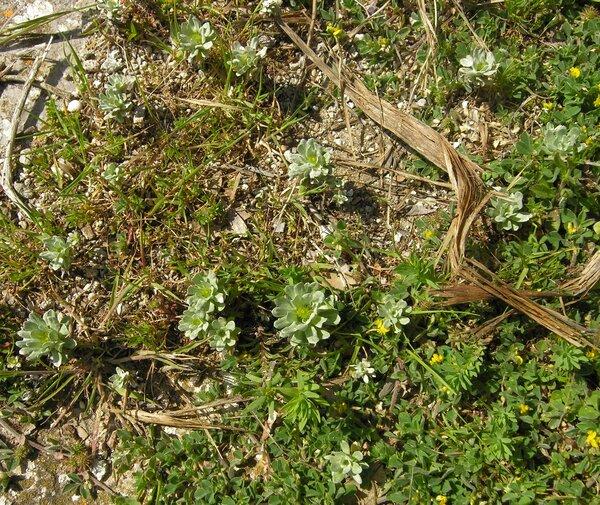 Filago pygmaea L.