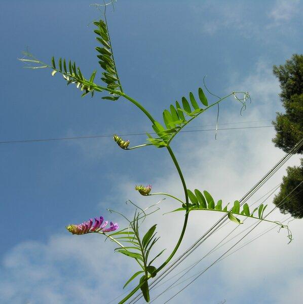Vicia pseudocracca Bertol.