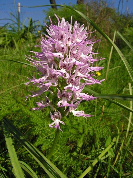 Orchis italica Poir.
