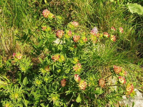 Anthyllis vulneraria L. subsp. rubriflora (DC.) Arcang.