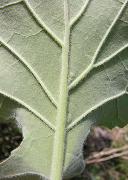 Brassica incana Ten.