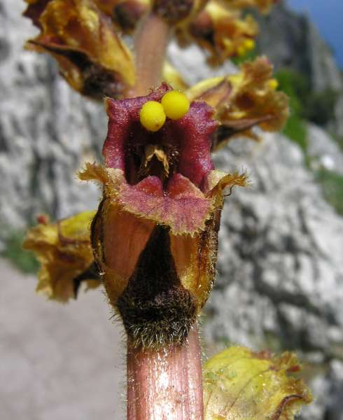Orobanche sp.