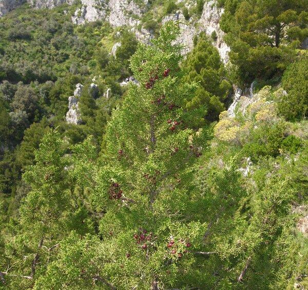 Juniperus turbinata Guss.