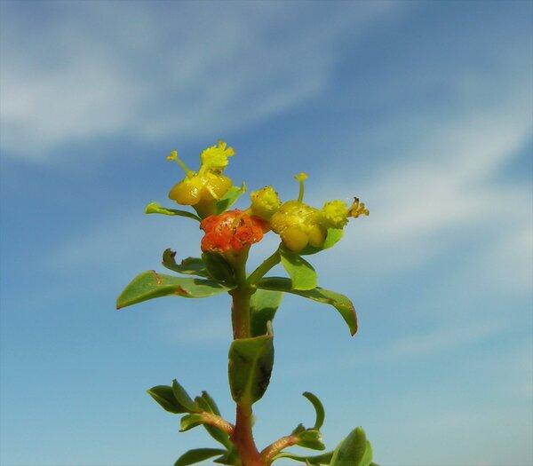 Euphorbia spinosa L.