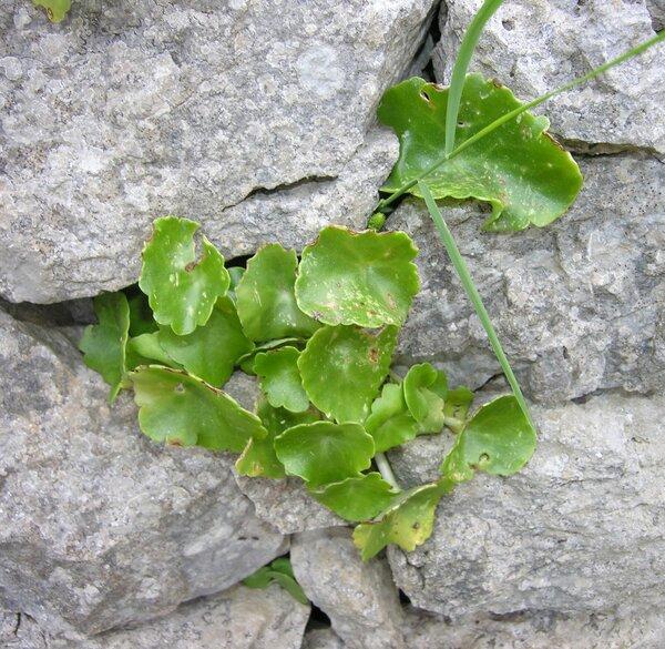 Umbilicus horizontalis (Guss.) DC.