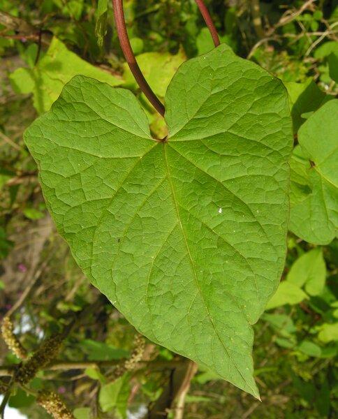 Convolvulus silvaticus Kit.