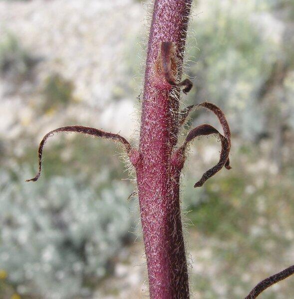 Orobanche sanguinea C.Presl