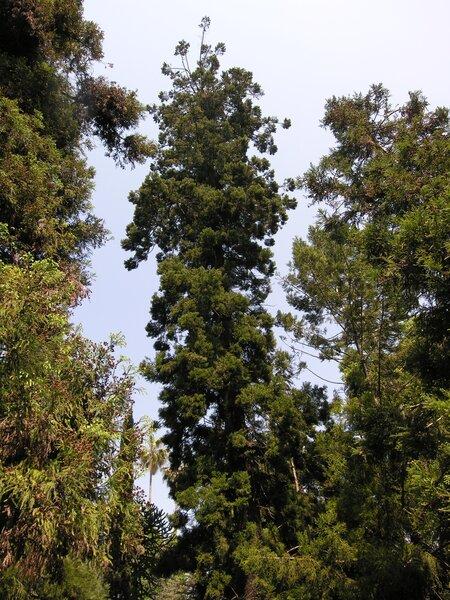 Araucaria cunninghamii Aiton
