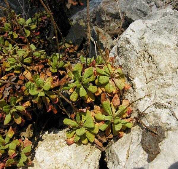 Limonium bellidifolium (Gouan) Dumort.