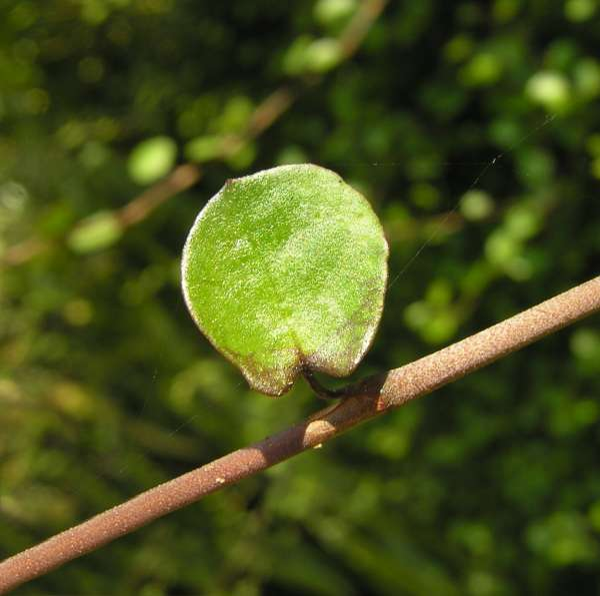 Muehlenbeckia complexa (A.Cunn.) Meissn.
