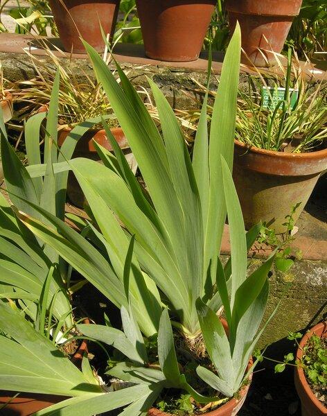 Iris pallida Lam.
