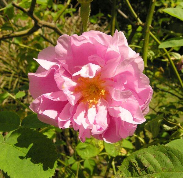 Rosa 'Centifolia'
