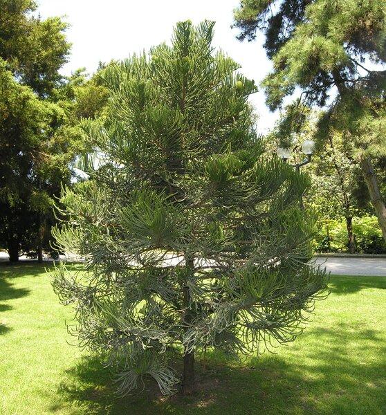Araucaria balansae Brongn. & Griseb.