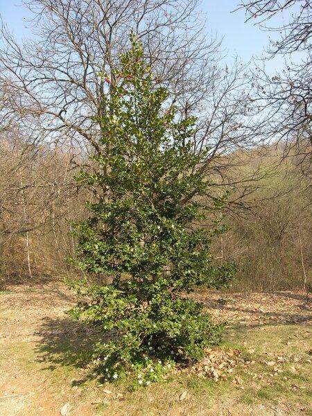 Ilex aquifolium L.