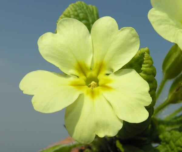 Primula vulgaris Huds. subsp. vulgaris