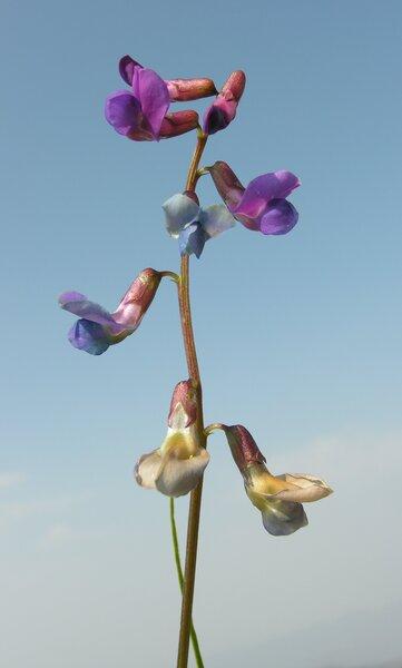 Lathyrus vernus (L.) Bernh. subsp. flaccidus (Ser.) Arcang.