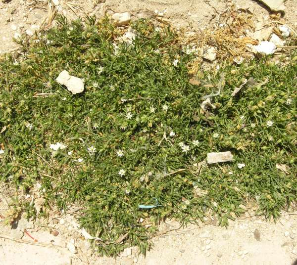 Spergularia marina (L.) Besser