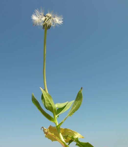 Urospermum picroides (L.) Scop. ex F.W.Schmidt
