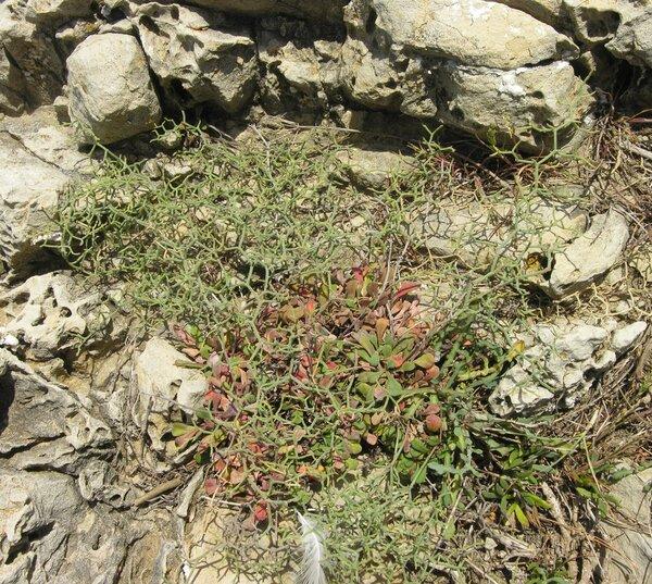 Limonium diomedeum Brullo