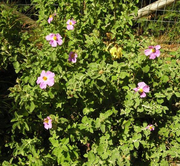 Cistus creticus L. subsp. creticus