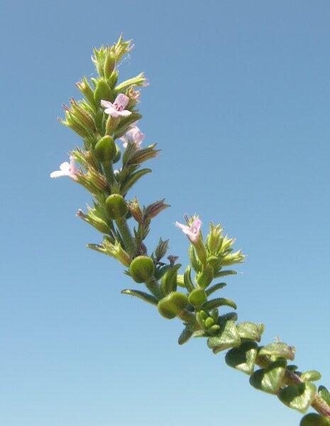 Micromeria nervosa (Desf.) Benth.