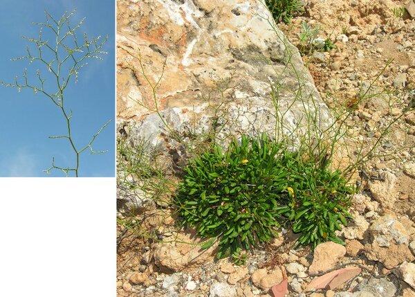 Limonium sommierianum (Fiori) Arrigoni