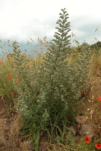 Echium italicum L. subsp. italicum