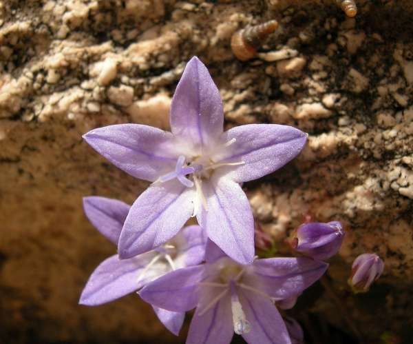 Campanula garganica Ten. subsp. garganica