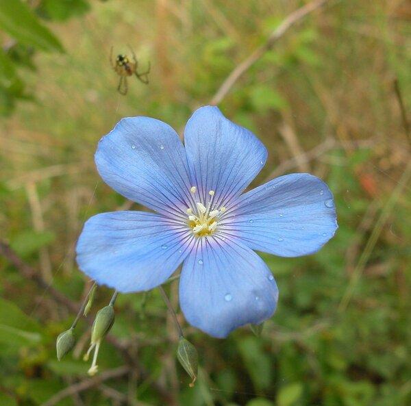 Linum alpinum Jacq. subsp. gracilius (Bertol.) Pign.