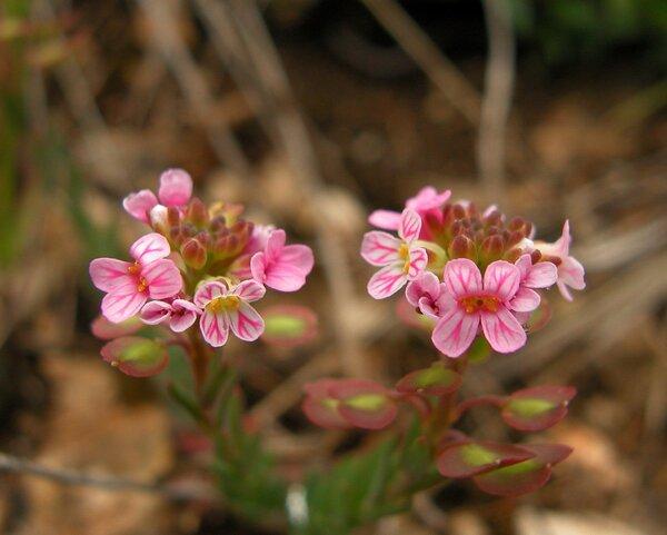 Aethionema saxatile (L.) R.Br.