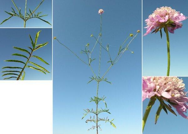 Sixalix atropurpurea (L.) Greuter & Burdet
