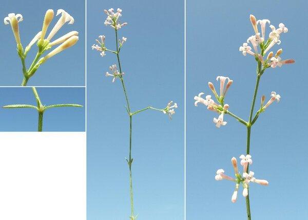 Asperula staliana Vis. subsp. diomedea Korica, Lausi & Ehrend.