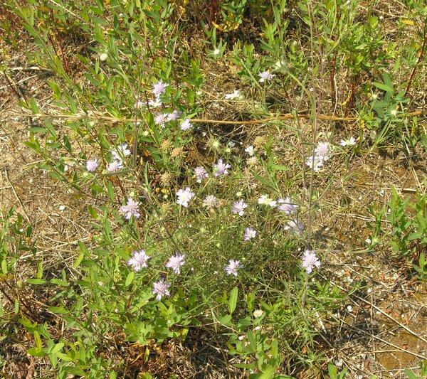 Lomelosia argentea (L.) Greuter & Burdet