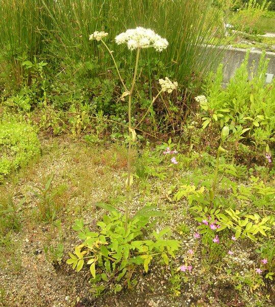 Angelica palustris (Bess.) Hoffm.