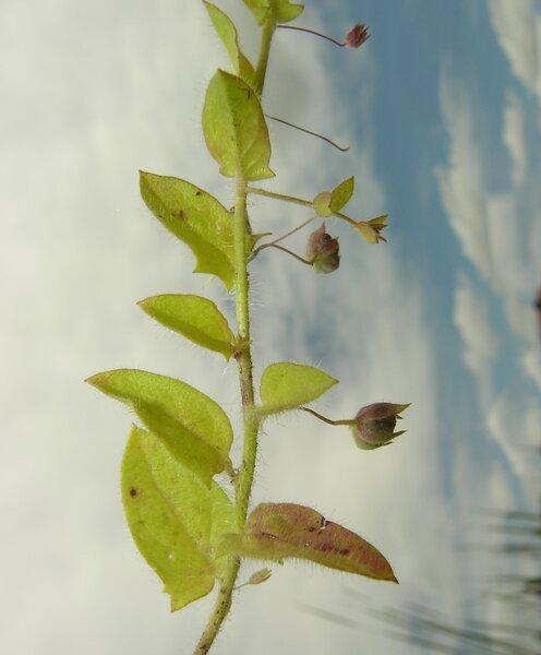 Kickxia elatine (L.) Dumort. subsp. elatine