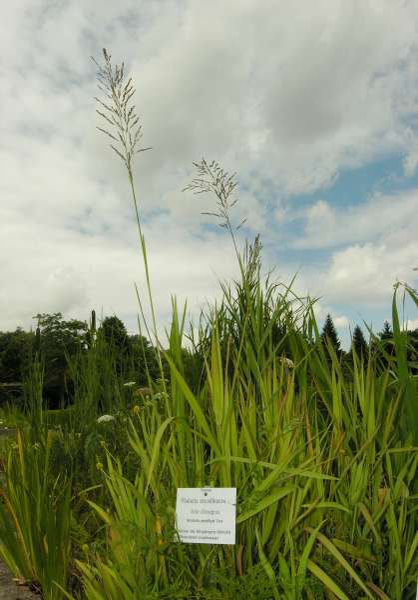 Glyceria maxima (Hartm.) Holmb. subsp. maxima