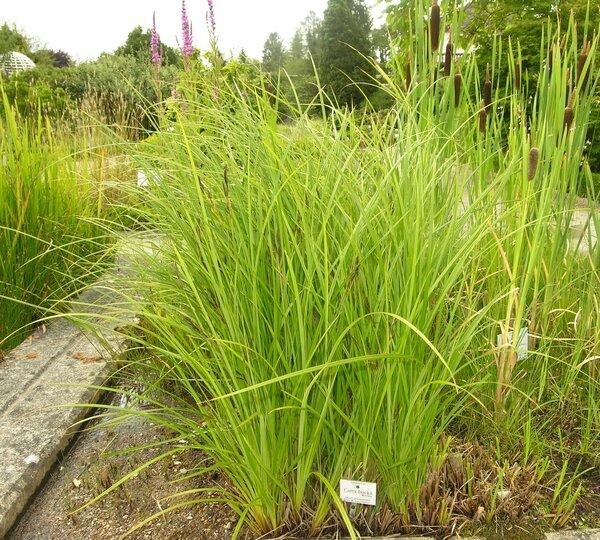Carex buekii Wimm.