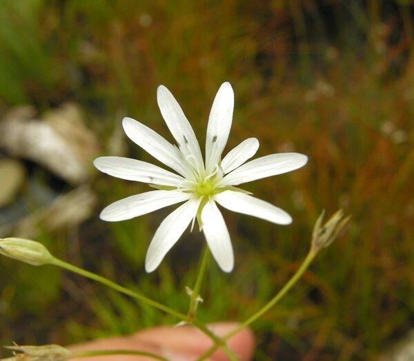Stellaria palustris Ehrh. ex Hoffm.