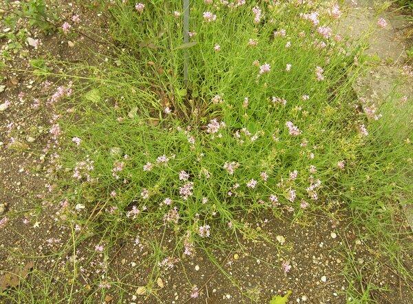 Centranthus angustifolius (Mill.) DC. subsp. angustifolius