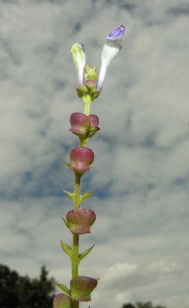 Scutellaria altissima L.