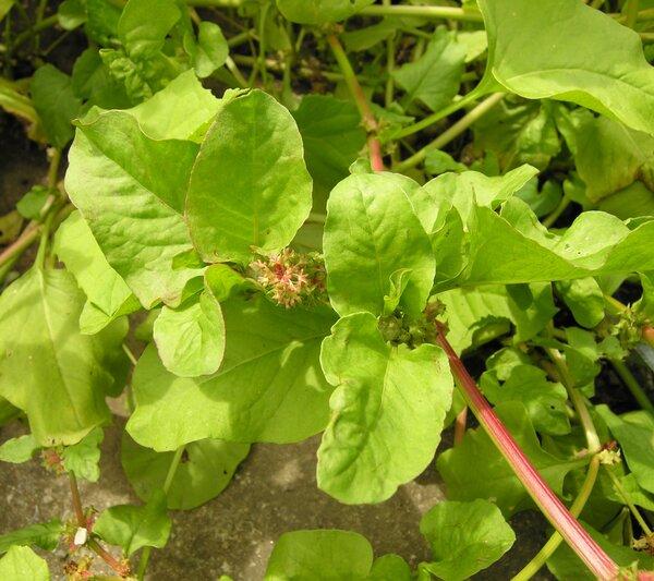 Rumex spinosus L.