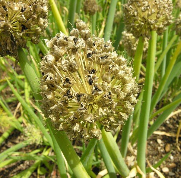 Allium fistulosum L.