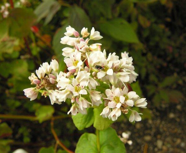 Fagopyrum esculentum Moench