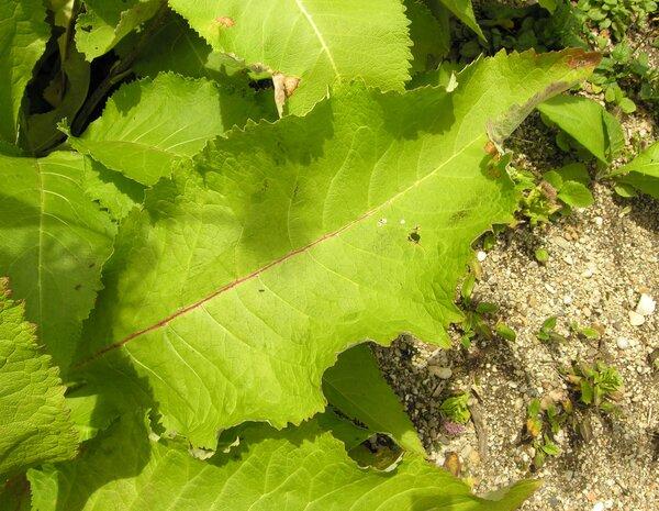 Inula helenium L. subsp. helenium