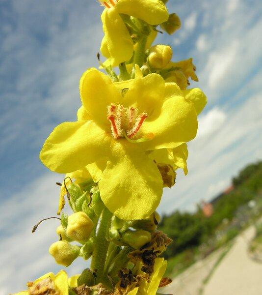 Verbascum olympicum Boiss.