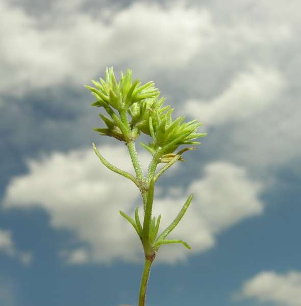 Scleranthus annuus L.