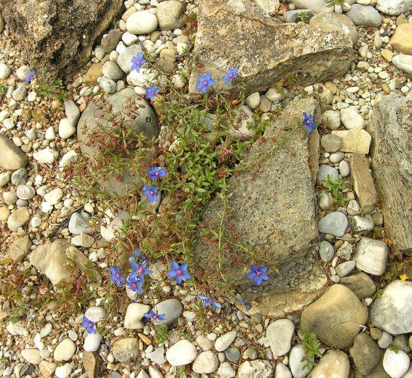 Lysimachia monelli (L.) U.Manns & Anderb. subsp. monelli