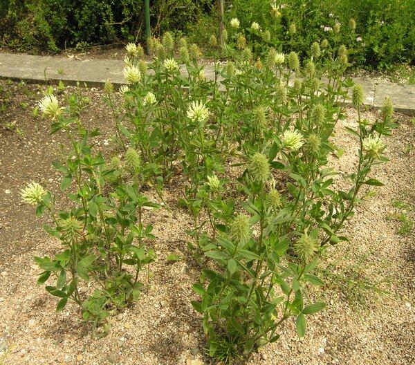 Trifolium pannonicum Jacq. subsp. pannonicum