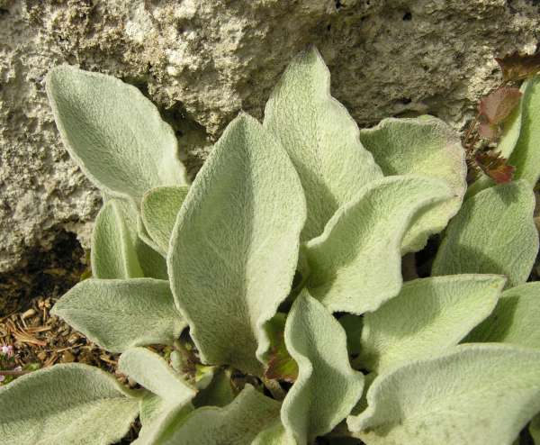 Hieracium waldsteini Tausch