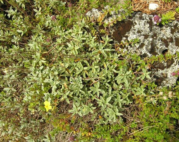 Helianthemum oelandicum (L.) Dum.Cours. subsp. incanum (Willk.) G.López